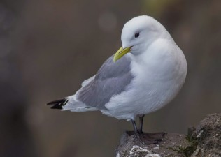 Black legged kittiwake at Skálanes, 2015