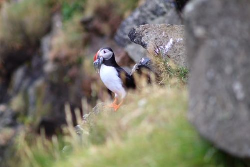Patience for Puffins