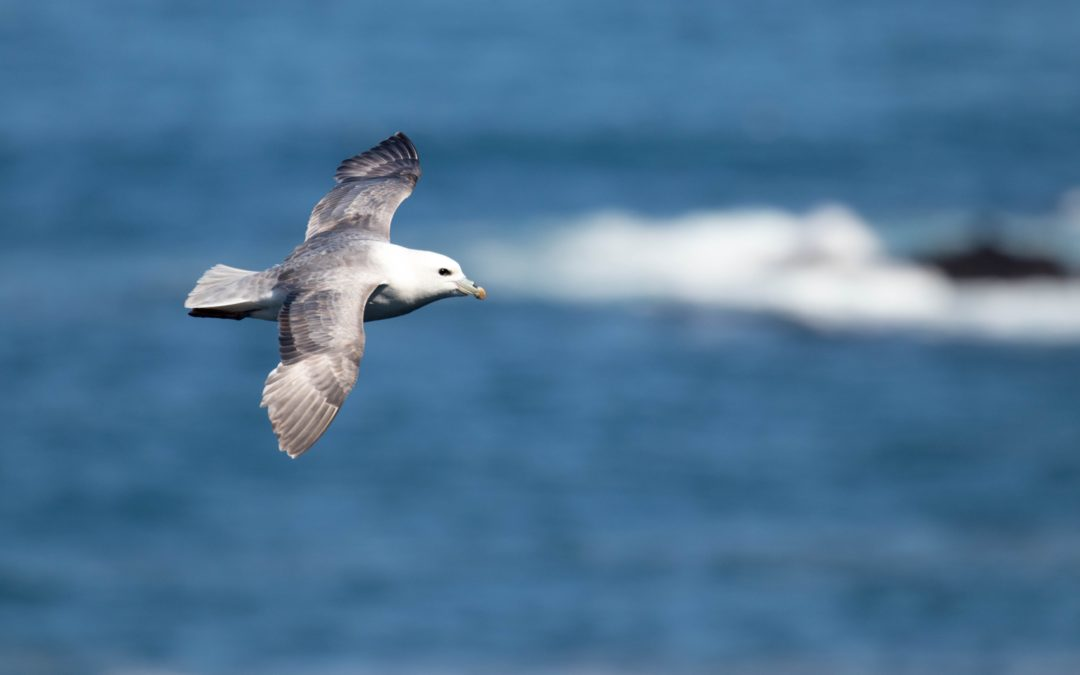 Species Profile: Northern Fulmar