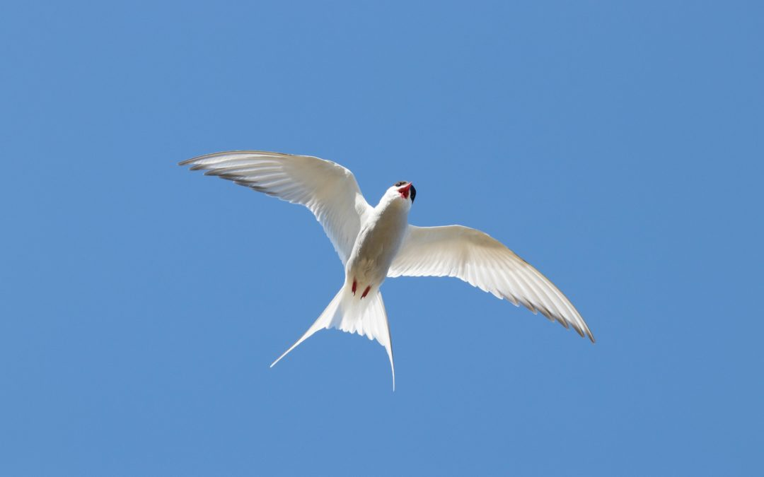 Tern Around: A Total Eclipse of the Heart