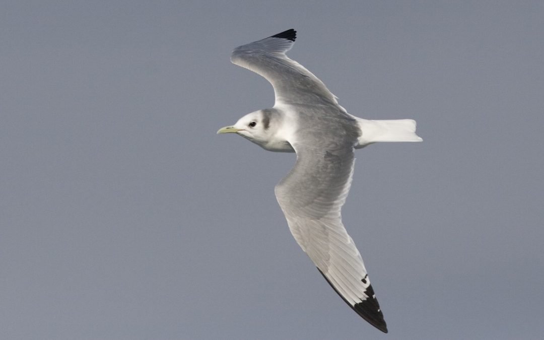 Species Profile: Black-Legged Kittiwake