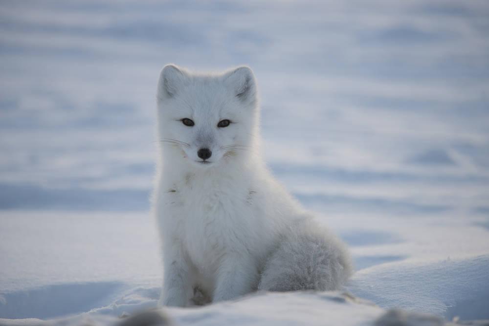 renard-polaire-assis-dans-la-neige
