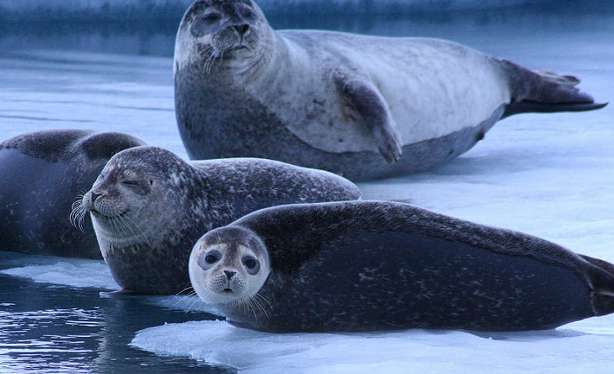 seal-watching-in-iceland-1